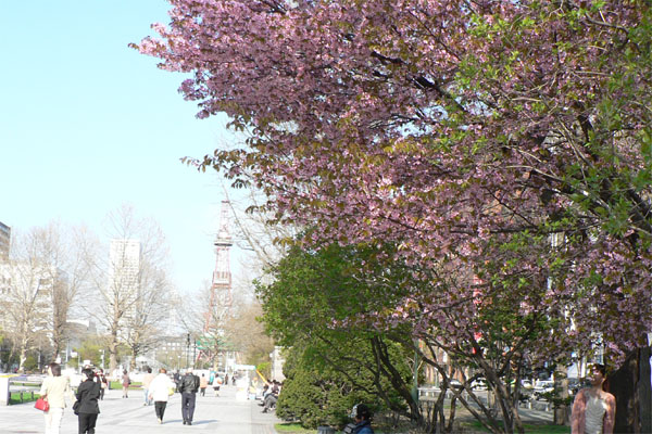 札幌・大通公園の桜