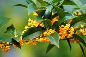 金木犀(キンモクセイ)の花